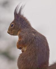 Aufmerksam / Attentive (schreibtnix on 'n off) Tags: deutschland germany bergischgladbach tiere animals eichhörnchen squirrel sciurusvulgaris nahaufnahme closeup aufmerksam attentive olympuse5 schreibtnix