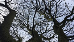 Indian Horse Chestnut (Aesculus indica) - canopy - March 2018 (Exeter Trees UK) Tags: indian horse chestnut aesculus indica canopy march 2018