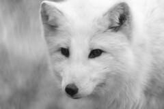 Arctic Fox (jed52400) Tags: baltimore maryland marylandzooinbaltimore arcticfox blackandwhite animal