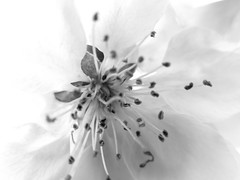 maybe we don't need honey but we do need pollinators (vertblu) Tags: blossom springblossom appletreeblossom mono bw macromode macro makro spring springtime petals stamens white sidelight sidelit zierapfel zierapfelblüte blüte frühling frühjahr dof blur blurred blurry vertblu soft softness delicacy delicate pollen dust farina abstractblossom nearlyabstract abstractfeel abstractstyle floral flora