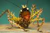 Spiny devil katydid (Panacanthus varius) (JulGlouton) Tags: spiny devil katydid panacanthus varius tettigoniidae katydide sauterelle insecte insect rainforest forest jungle biodiversity ecuador choco bilsa