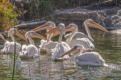 Pelícanos Africanos. (Wal Wsg) Tags: pelícanosafricanos pelicano pelicanos aves birds mundoanimal animales animalworld animal animals animallife 7dwf 7dwffauna 7dwfsundaysfauna phwalwsg argentina provinciadebuenosaires escobar día day pelicans