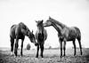 trio (Jen MacNeill) Tags: horse horses equine three trio animals