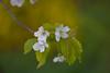 ... (Kosmi88) Tags: polska nikon kwiat flower spring wiosna macro d5300 nikkor 18 poland green grass