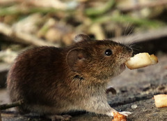 Peared up! (juliekemp) Tags: vole bankvole nature comedy