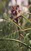 """SDIM7137- sd1 - """"Anacamptis Papilionacea"""" - voigtlander apo skopar 150mm f8 (ciro.pane) Tags: sigma sd1 merrill foveon promontorio punta campanella orchidea selvatica anacamptispapilionacea ambiente crescita italia italy italien italie voigtlander aposkopar 150mm f8 enlarging lens contributo sfocato bokeh colori"""