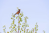 Little Chirper (briantolin) Tags: mapleridge britishcolumbia dyke river creek stream water landscape path nature bird robin wildlife