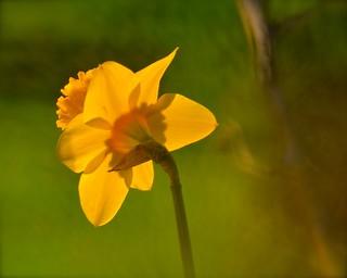 Warm Spring Daffodil