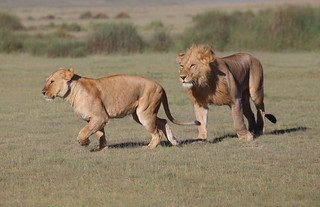 Male and Female Adult Lions
