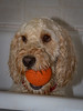 'My Ball !' (DP the snapper) Tags: turbofunny cockapoo amusing turbo turboportrait turboball