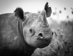 rhino kenya (tsd17) Tags: mono canon kenya masaimara wildlife mammal conservation rhino
