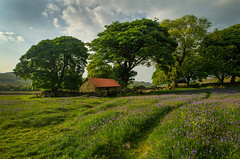A Sapphire Carpet (suerowlands2013) Tags: emsworthymire dartmoor devon naturereserve bluebells barn drystonewalls haytor saddletor widecombeinthemoor ruinedfarm trees spring