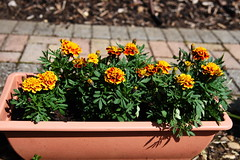 DSC_0248 French Marigolds (PeaTJay) Tags: nikond750 reading lowerearley berkshire macro micro closeups gardens outdoors nature flora fauna plants flowers marigold marigolds