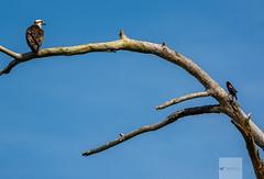 Blackwater National Wildlife Refuge 6/14/18 (AnthonyVanSchoor) Tags: anthonyvanschoor maryland usa osprey