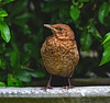 Juvenile Blackbird  ( turdus merula ) - Relaxing by the pool !! (Clive Brown 72) Tags: wales songbird garden youngster juvenile thrush summer birdbath blackbird bird