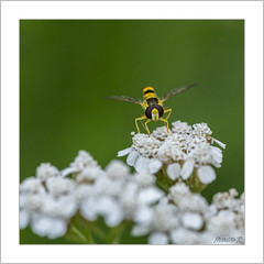 Syrphidae (Francis =Photography=) Tags: insecte animal mouche syrphidae animalia insecta syrphe syrphide hoverfly flowerflies syrphidflies schwebfliegen stehfliegen