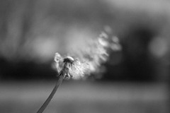 In a whisper (Lux Obscura) Tags: dandelion seeds bw nb dof summer solstice nature