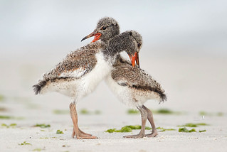 Chick fight!