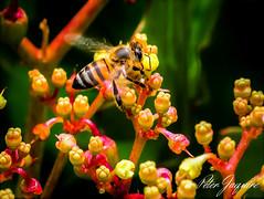 Honey Bee (peter.jaquire) Tags: honey bee succulent flower