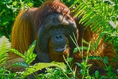 O-Tang Pongus pygmaeus Borneo DSC_9951 (JKIESECKER) Tags: orangutan borneo borneoindonesia indonesia wildlife wildlifeviewing wildlifeportrait tropicalforest tropicalrainforest tropicalbiodiversity biodiversity greatapes primates