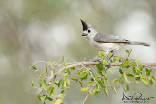 black crested titmouse (M)