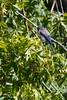 IMG_1130 (armadil) Tags: sanfrancisco sanfranciscobotanicalgarden sfbotanicalgarden bird birds jay jays stellersjay scrubjay motherhood spring