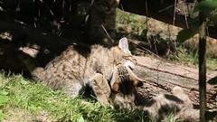 European wildcat 23-06-2018 003 (swissnature3) Tags: wildlife animals wildcat nature basel switzerland