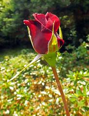 Red Rose Bud (Cornishcarolin. Stupid busy!! xx) Tags: cornwall penryn nature flowers roses redrose redrosebud buds oil filters oilfilter climbingroses climbingplants