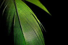 Green lines (alideniese) Tags: macromondays linesymmetry 7dwf anythinggoesmondays macro closeup feather greenfeather lines symmetry symmetrical colour green black blackbackground light shadow bright alideniese