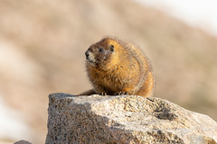 Yellow-bellied Marmot hanging out