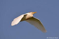 Airone guardabuoi _011 (Rolando CRINITI) Tags: aironeguardabuoi uccelli uccello birds ornitologia curtatone mincio natura