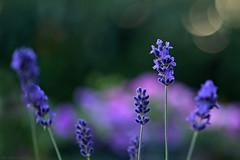 Dancing colours... (eleni m) Tags: dancing colours lavender blue pink green bokeh dof flowers plants macro happy summer
