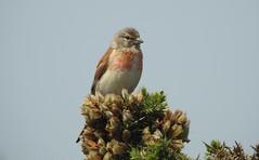 Linnet sitting on a Gorse Bush (blue33hibiscus) Tags: linnet songbird gorse rspb dungeness kent