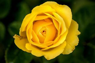 Yellow Rose-BSG 3-0 F LR 6-10-18 J371
