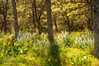 Spring in Rowena (Gary L. Quay) Tags: columbiagorge columbia river gorge oregon spring 2016 rowena crest balsamroot lupins whiteoak gary quay garyquay nikon d300