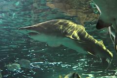 IMG_8873 (giltay) Tags: takumarsmc55mmf18 fish shark