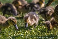 Mrs Digital Pensthorpe _MG_5797 PF.jpg (Mr and Mrs Digital) Tags: babyducks chicks wild baby sancturay norfolk pensthorpe coth5