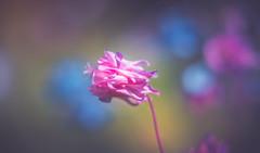 Aquilegia (Dhina A) Tags: a7rii ilce7rm2 a7r2 a7r kaleinar mc 100mm f28 kaleinar100mmf28 5n m42 nikonf russian ussr soviet 6blades sony aquilegia flower