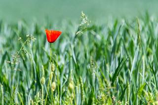 Klatschmohn - Poppy - Papaver rhoeas