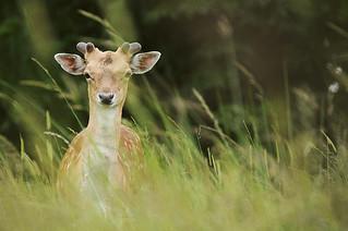 Fallow Deer in Long Grass