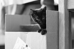 Mina (Fabrice Gillet) Tags: kitten box portraiture bw nb sweetness portrait acros 3 kitty
