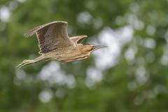 Bittern in flight (1) (Stickyemu) Tags: wildlife nature bittern bif nikond500 nikon200500mmf56 suffolk