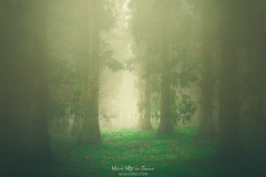 Into the woods (Mimadeo) Tags: forest sunshine sunlight shine mist fog morning sunny light landscape misty tree outdoor beautiful foggy nature idyllic bright magic fantasy dreamy mood moody atmosphere atmospheric yellow green springtime glowing glow vintage retro instagram