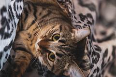 Game .. Nala (Julie Greg) Tags: colours kitten animal fujifilmxt20 eyes colour pet cat