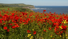 The Warren (asbrook1991) Tags: thenorthyorkshirecoast theclevelandway poppies thecoast landscape seascape teesside