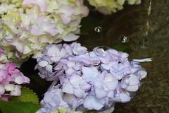 Hydrangea in water (yukky89_yamashita) Tags: 京都 長岡京市 柳谷観音 あじさい あじさいウィーク kyoto japan nagaokakyo hydrangea water