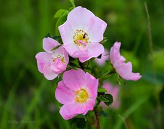 Wild Prickly Rose (Katy on the Tundra) Tags: wildpricklyrose rosaaciculariswildflowers