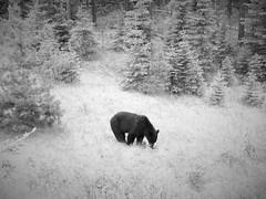 BLACK BEAR (Rob Patzke) Tags: bw monochrome black panasonic lumix lx100 animal pines grass nature contrast