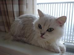 DSC01883 (junku) Tags: cats cat kitties  hime