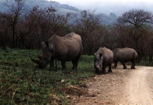 White Rhino coming down the road